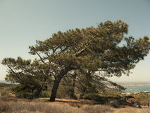 Tree at Point Loma. San Diego, CA stock photography