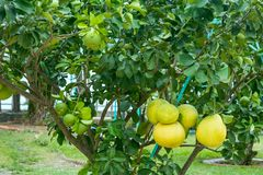 Young tree with pomelo fruit royalty free stock photo