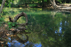 Tree by the pond, green water in tropical forest. Royalty Free Stock Photo