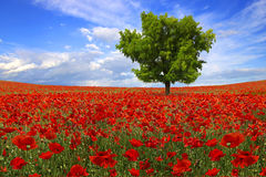 Tree on the poppies plantation royalty free stock image