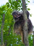 Tree Porcupine Climb royalty free stock photos