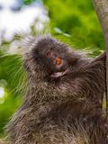 Tree Porcupine Climb stock photos