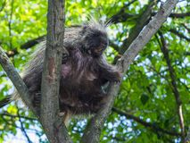 Tree Porcupine Climb stock photography