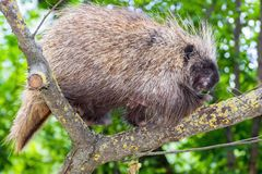 Tree Porcupine Climb. Canadian or North American tree porcupine Erethizon dorsatum stock images