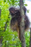 Tree Porcupine Climb stock image
