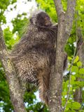 Tree Porcupine Climb royalty free stock photo