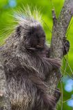 Tree Porcupine Climb stock images