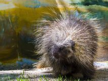 Tree Porcupine Walking. Canadian or North American tree porcupine - Erethizon dorsatum - on the ground stock photos