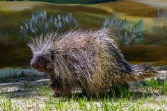 Tree Porcupine Walking royalty free stock images