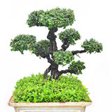 Tree on pot Stock Images