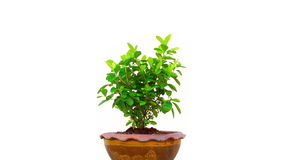 Tree in pot on isolated stock video footage