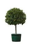 Tree in pot Royalty Free Stock Photos
