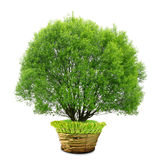 Tree in pot Stock Photos