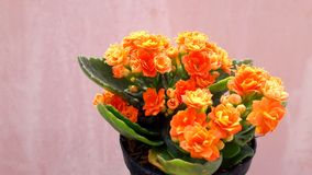 The tree in the pot, orange flowers, decorative - decorative, beautiful green leaves, lovely. Stock Photo