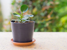 Tree in a pot placed . Royalty Free Stock Image