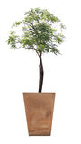 Tree in potted. Tree in potted on white background Royalty Free Stock Image