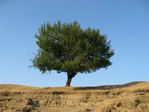 The tree in the prairie. Alone tree in the dry place royalty free stock image