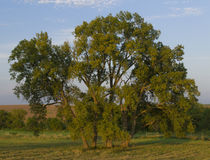 Tree in Prairie Neal Smith Wildlife Refuge Royalty Free Stock Image
