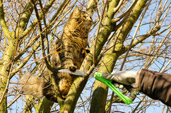 Tree pruning and cat Royalty Free Stock Photos