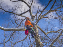 Tree pruning and cutting. By a lumberjack in winter months Royalty Free Stock Image