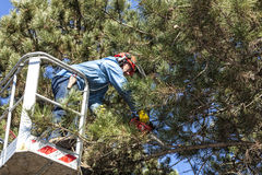 Tree pruning by a man with a chainsaw, standing on a mechanical platform, on high altitude between the branches of austrian pines. Cutting unnecessary branches Royalty Free Stock Photos