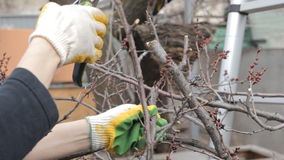 Tree-pruning in the spring with shears. And working gloves stock footage
