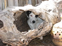 Tree Pup. A Rescued pup waiting for a forever home Stock Images