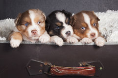 Tree puppies ready to travel Stock Photography
