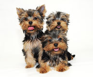 Tree puppies Yorkshire terrier Stock Photo