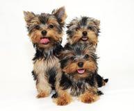 Tree puppies Yorkshire terrier Stock Photo