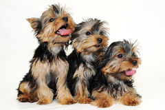 Tree puppies Yorkshire terrier Stock Photography