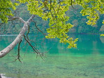 The tree of purity. Tree at the shore of the lake that touches the branches turquoise water Stock Photos