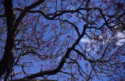 Tree with purple flowers. A tree with lots of purple blossoming flowers Royalty Free Stock Images