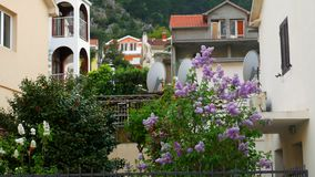 A tree of purple lilac in the courtyard, near the villa. Flowers stock footage