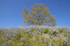 Tree and purple lupine flowers Stock Image