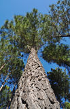 Tree radiata pine looking upwards. Trees of the radiata pine variety (pinus radiata) looking upwards from near the base. This is a plantation tree in the royalty free stock photos