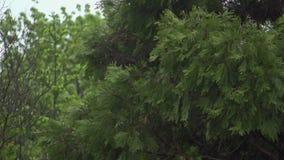 Tree With Rain Falling.  stock video footage