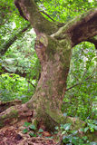 Tree in the rain forest (Hawaii) Stock Images