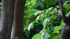 Tree in rain,lush foliage leaves. Gh2_02505 stock video footage