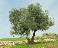 Tree at Ramat hanadiv Royalty Free Stock Image