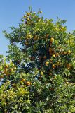 Tree of rangpur lime, or limao cravo in Portuguese. Covered with ripe fruits. Brazil stock images