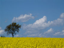 Tree in the rape. A may scene Royalty Free Stock Photo