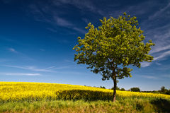Tree on a rape field Royalty Free Stock Photography