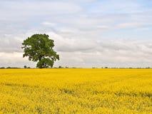 Tree in rape field Stock Photo