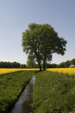 Tree with rape field an brook in Germany Stock Photography