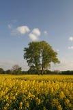 Tree with rape field, Germany Stock Photo