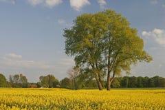 Tree with rape field in Germany Stock Photo