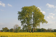 Tree with rape field in Lower Saxony, Germany Stock Images