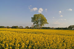 Tree with rape field in Lower Saxony, Germany Stock Image