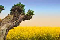 Tree and Rapeseed field Stock Photo